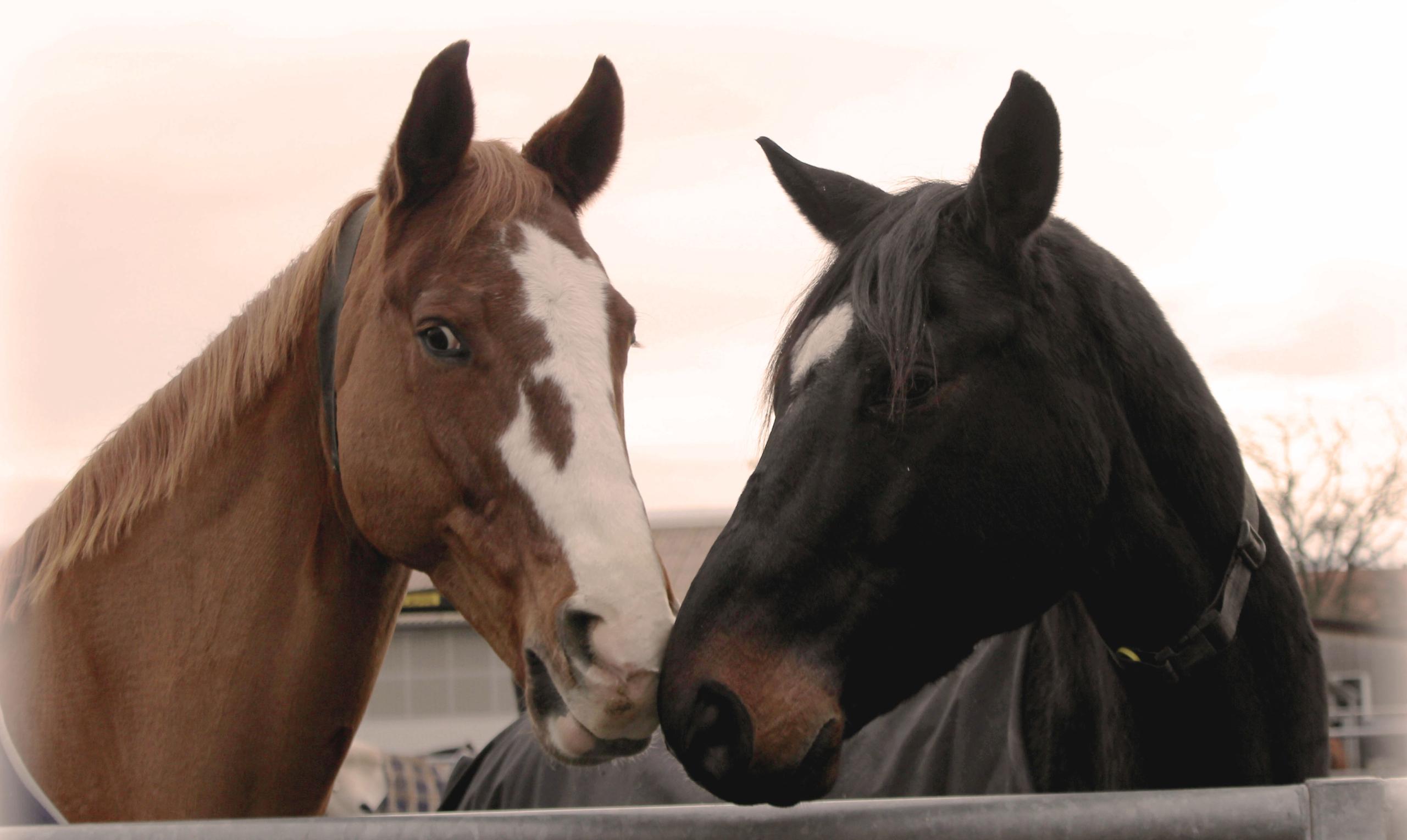 Pferde berühren sich an Nase